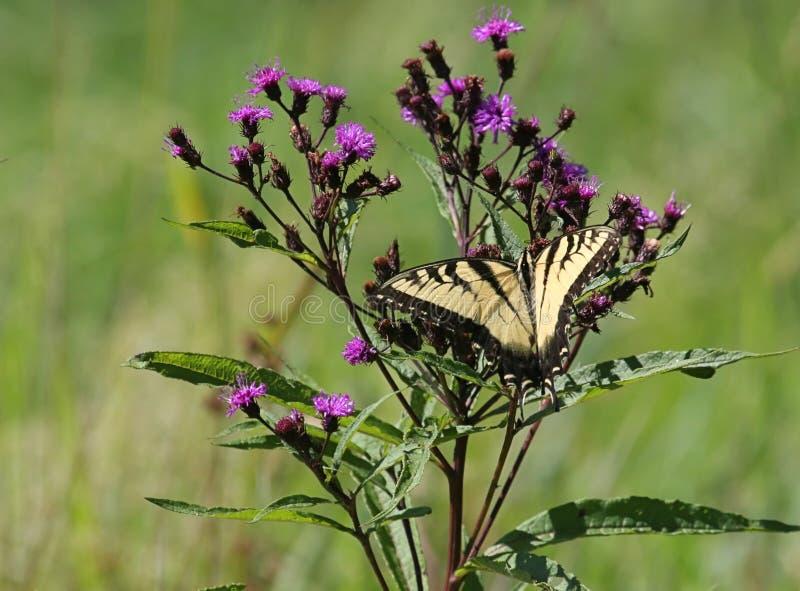 蝴蝶glaucas papilio swallowtail老虎 免版税图库摄影