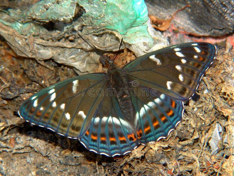 蝴蝶limenitis populi 图库摄影