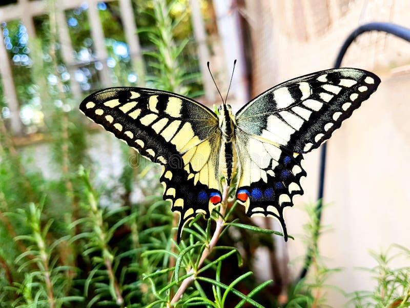 蝴蝶machaon papilio swallowtail 免版税图库摄影