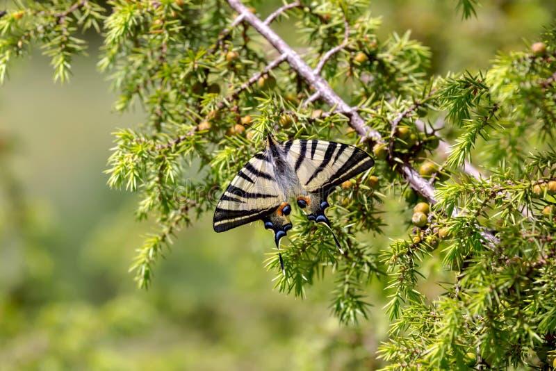 蝴蝶Podalirius Iphiclides podalirius特写镜头 图库摄影