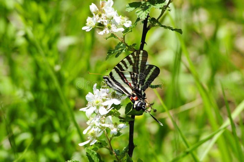 蝴蝶swallowtail斑马 图库摄影