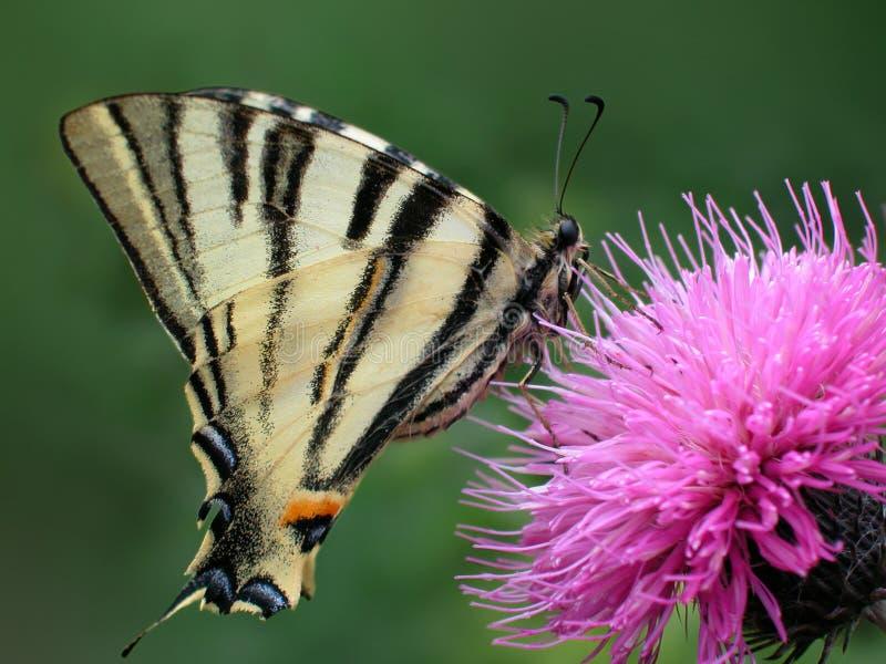 蝴蝶swallowtail老虎黄色 免版税库存照片