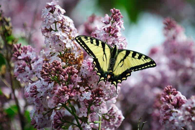 蝴蝶swallowtail老虎 免版税库存照片