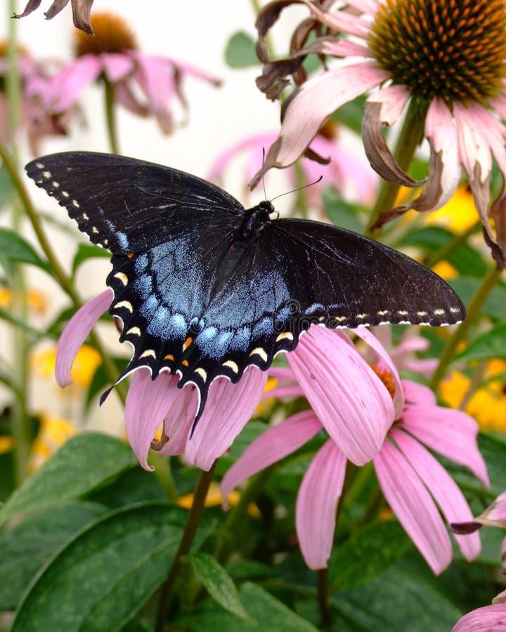 蝴蝶swallowtail老虎 免版税库存图片