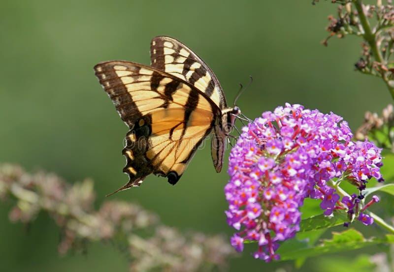 蝴蝶swallowtail老虎 库存照片