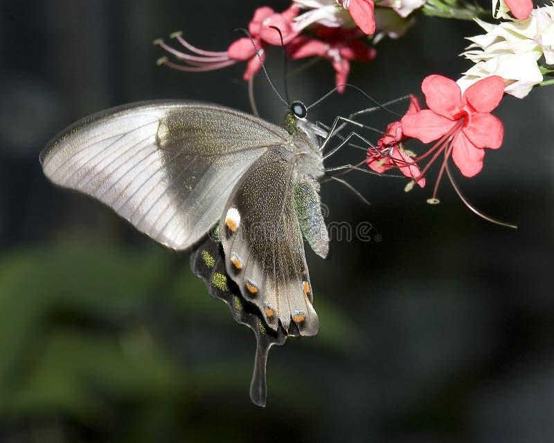 蝴蝶swallowtail 库存图片