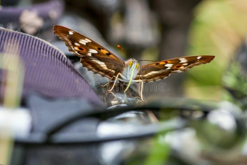 蝴蝶一点帝王紫蛱蝶& x28; 闪蛱蝶属ilia& x29; 库存照片