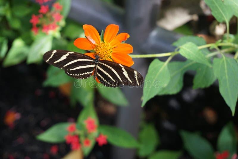 蝴蝶佛罗里达世界 库存图片