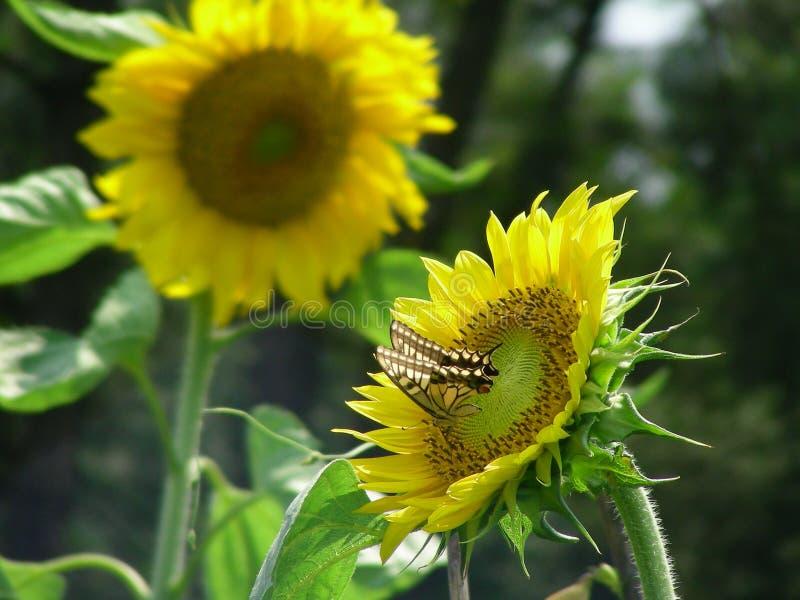 蝴蝶和向日葵 库存照片