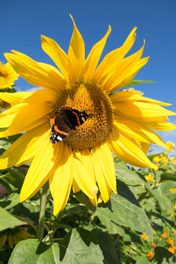 蝴蝶和明亮的黄色开花的向日葵 库存图片