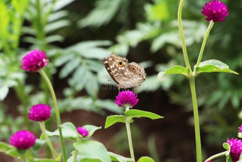 蝴蝶和桃红色花在庭院里 库存照片