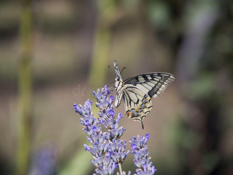 蝴蝶和淡紫色花 库存照片