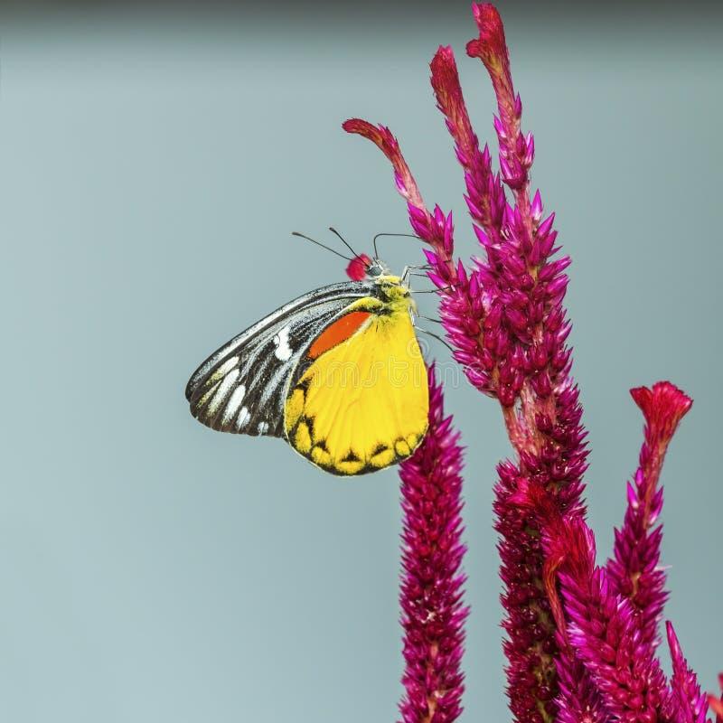 蝴蝶和红色Cockscomb 库存图片