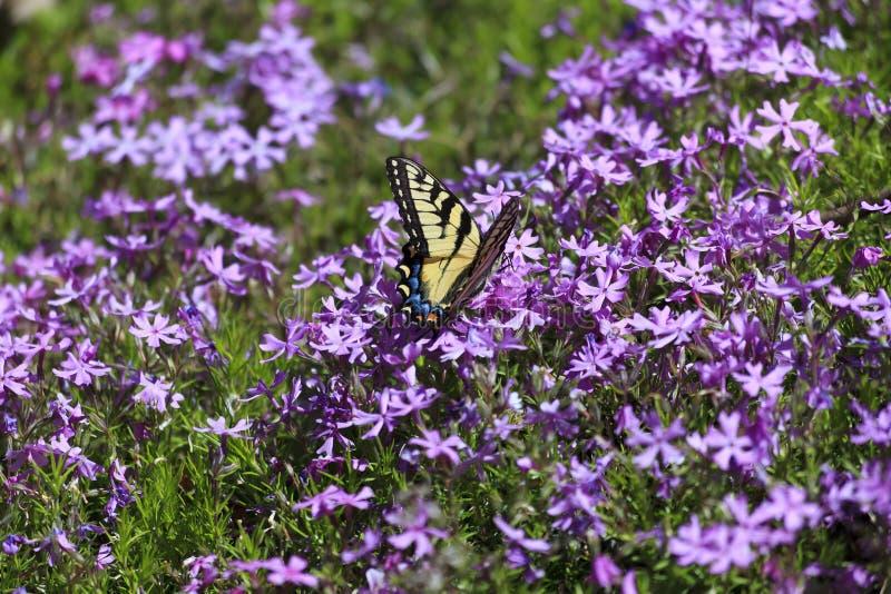 Download 蝴蝶和Pholx 库存图片. 图片 包括有 自由, 特写镜头, 绽放, 老虎, 象鼻, 紫色, 关闭, swallowtails - 30327425