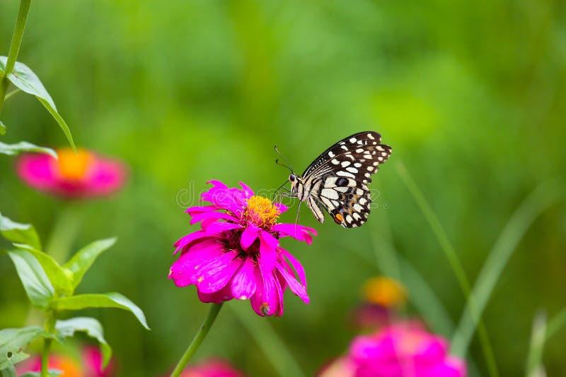 蝴蝶在庭院和飞行里对许多花在庭院里,美丽的蝴蝶在五颜六色的庭院或昆虫农场里,动物或者昆虫 免版税图库摄影