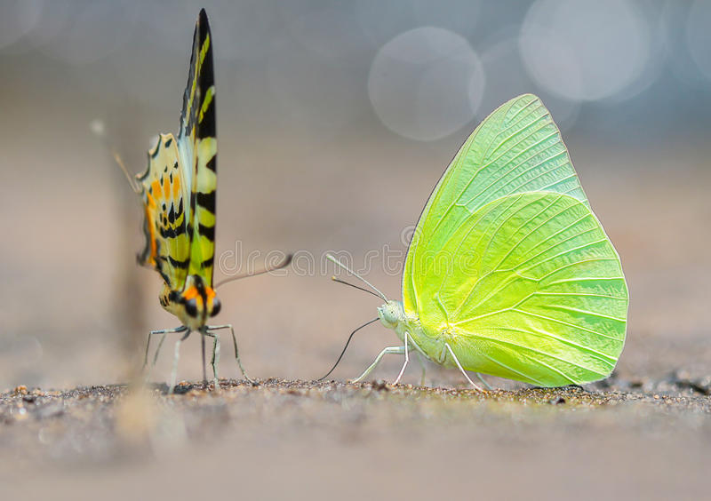 蝴蝶在庭院里 (柠檬移出境者; 库存图片