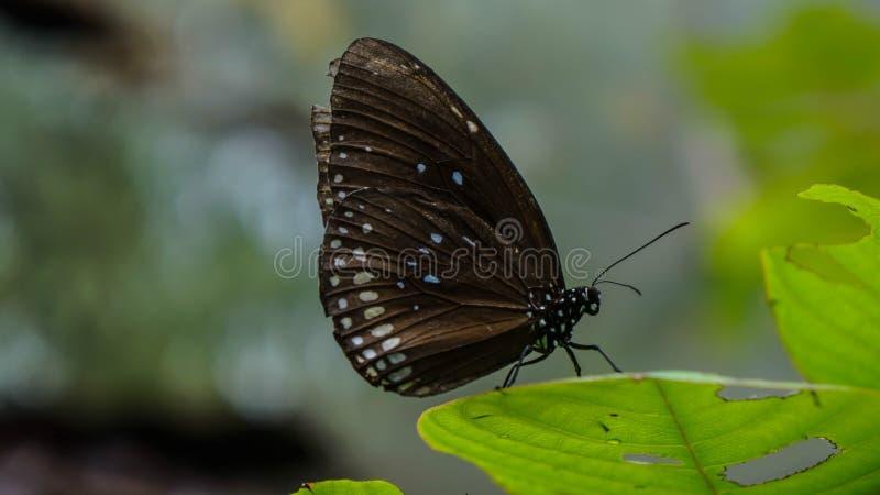 蝴蝶在泰国 图库摄影