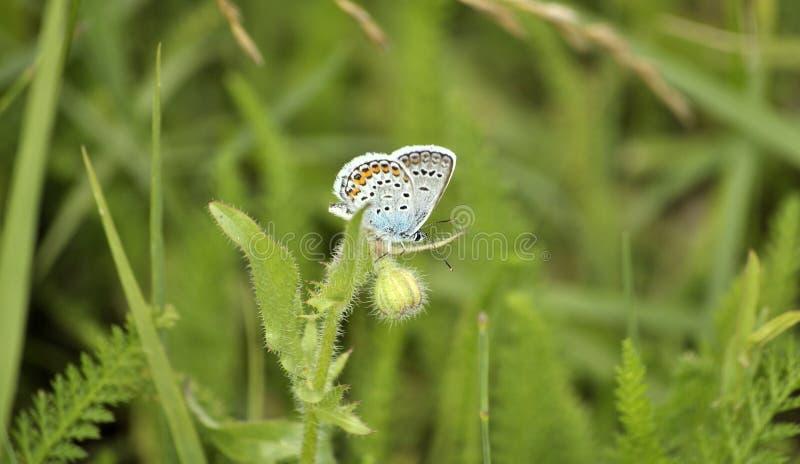 蝴蝶在草甸 阿曼达的蓝色(Polyommatus amandus) 库存照片
