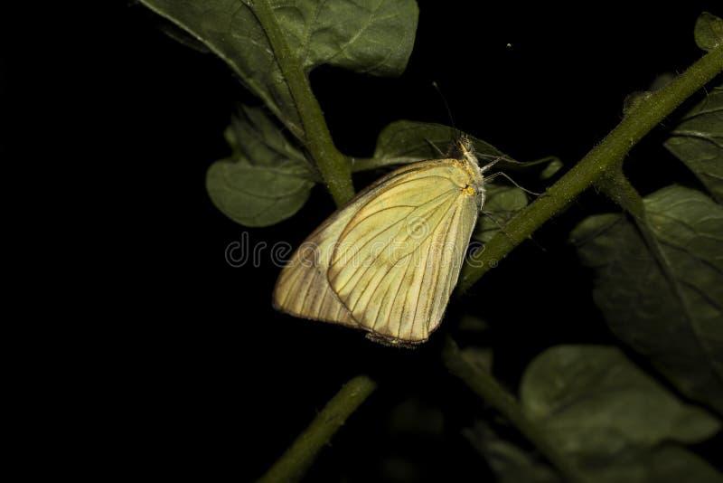 蝴蝶在绿色植物中 美丽的昆虫 西红柿 库存照片