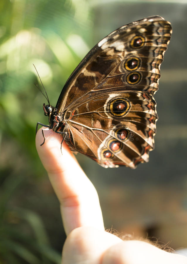 在手指的蝴蝶 免版税库存图片