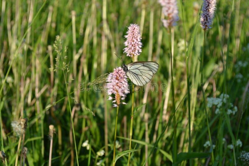 蝴蝶坐一朵桃红色花 库存照片