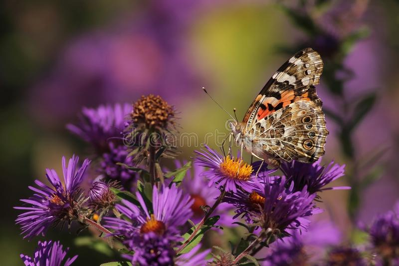 蝴蝶夫人绘了 免版税库存照片