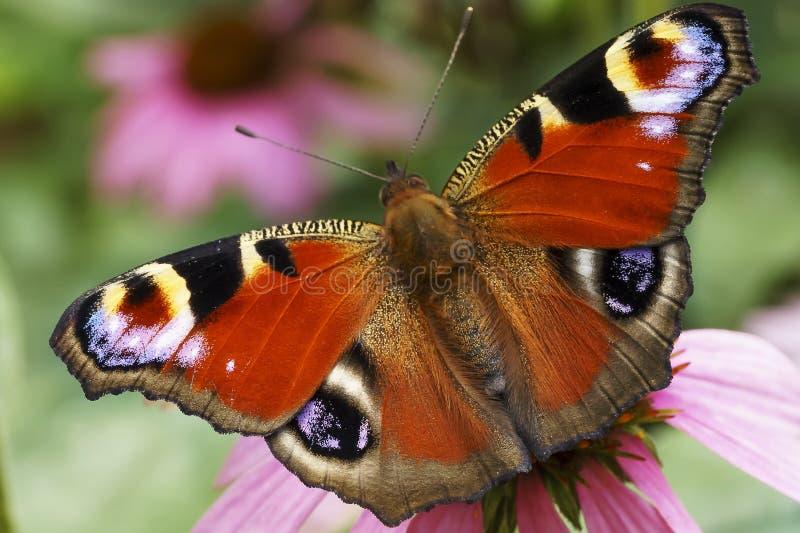 蝴蝶孔雀眼睛 图库摄影