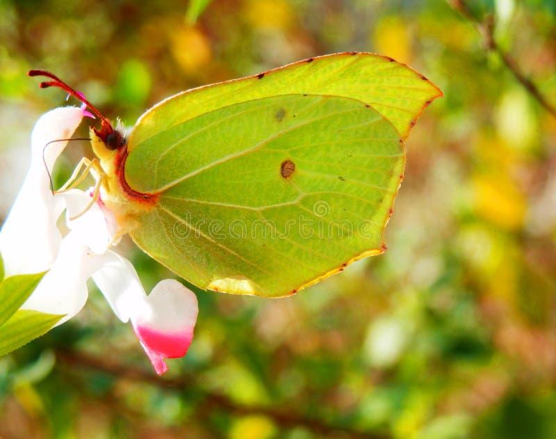 蝴蝶宏观摄影在花的 免版税库存照片