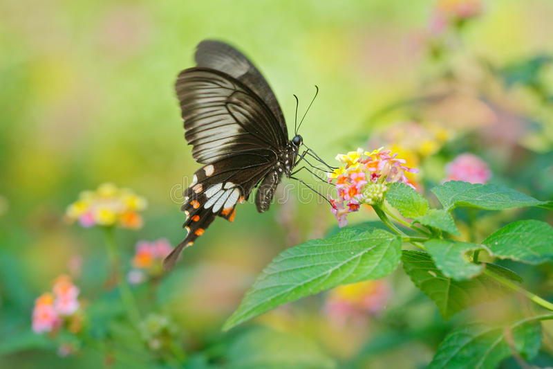 蝴蝶斯里兰卡的锡兰玫瑰色或上升了, Pachliopta jophon,是在属于swallowtail famil的斯里兰卡找到的蝴蝶 免版税库存图片