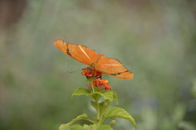 Download 蝴蝶新仙女木iulia 库存照片. 图片 包括有 本质, 数据条, 叶子, 花蜜, 察觉, 幼虫, 食物 - 30331532