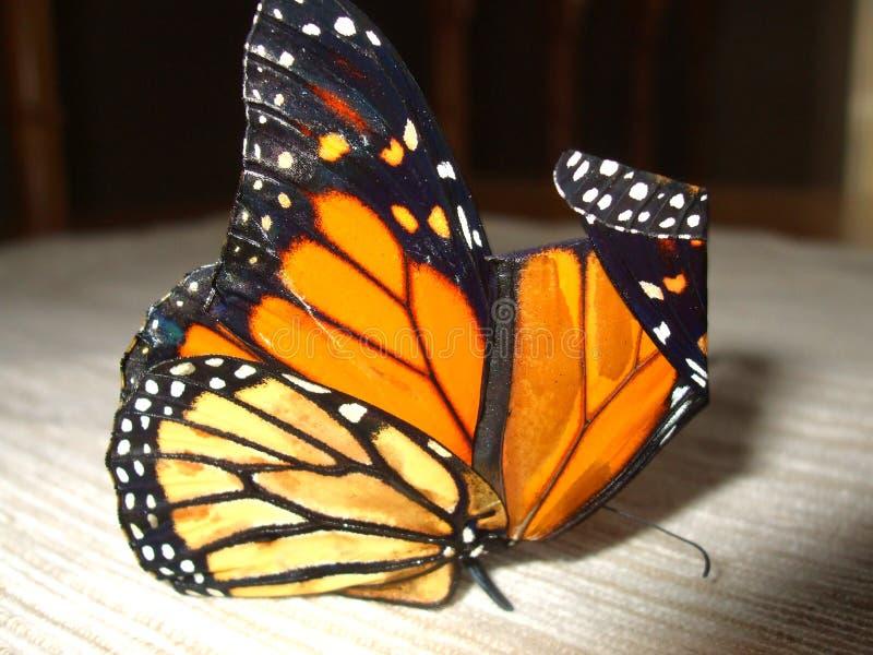 蝴蝶最近涌现了国君 免版税库存图片