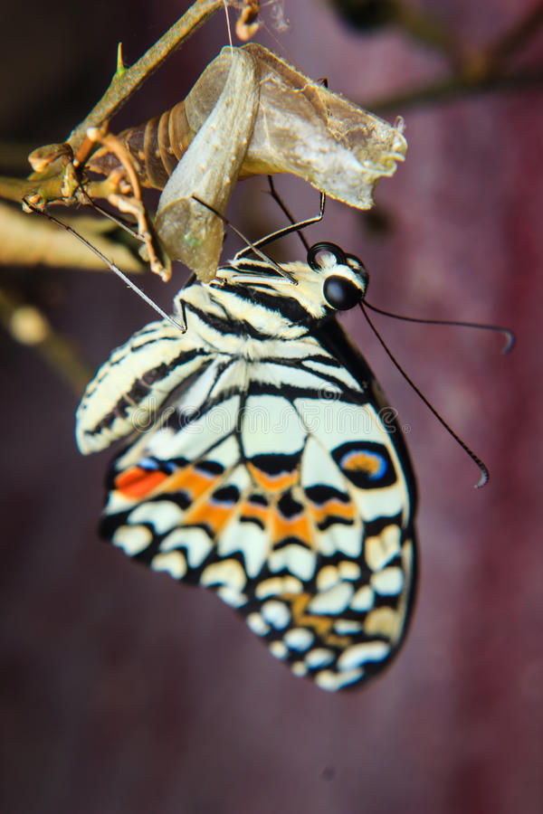 蝴蝶最近涌现了 免版税库存图片