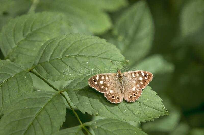 蝴蝶有斑点的木头 免版税图库摄影