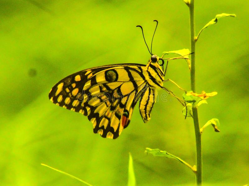 蝴蝶照片罗马浪漫街道 库存图片