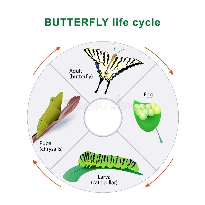 蝴蝶生命周期 演变 向量例证