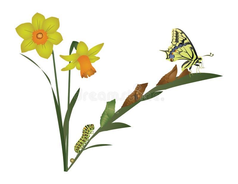 蝴蝶的生命周期。 皇族释放例证