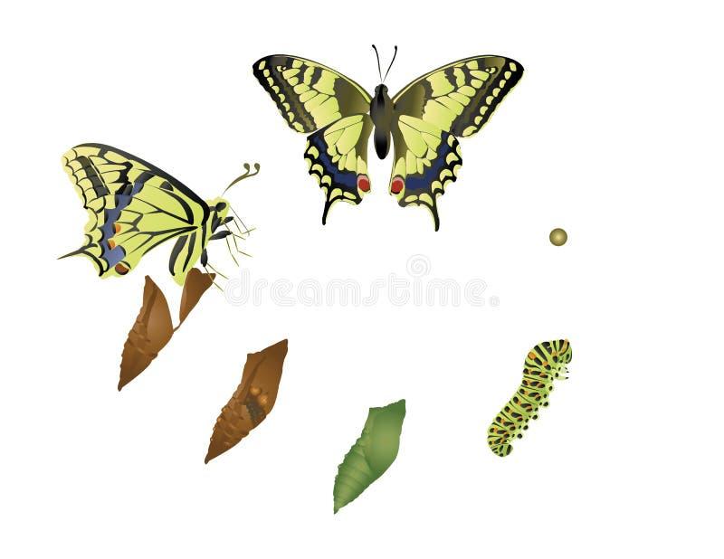 蝴蝶的生命周期。 库存例证