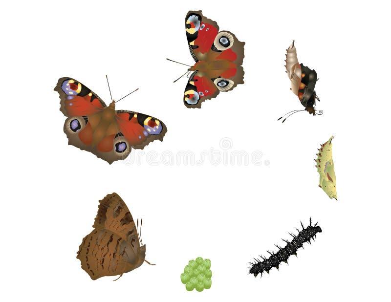 蝴蝶的生命周期 皇族释放例证