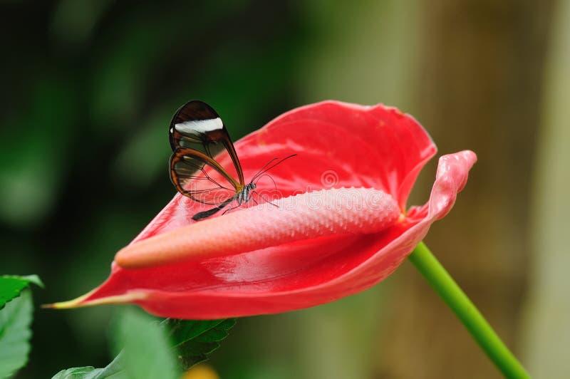 蝶粉花红色透明 免版税库存图片