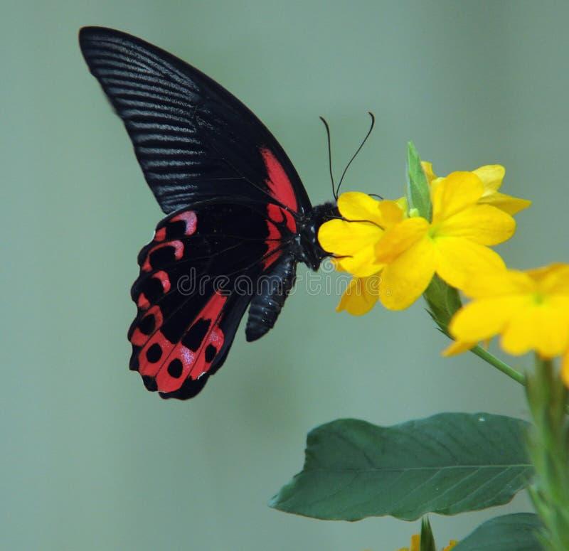 蝶粉花黄色 图库摄影