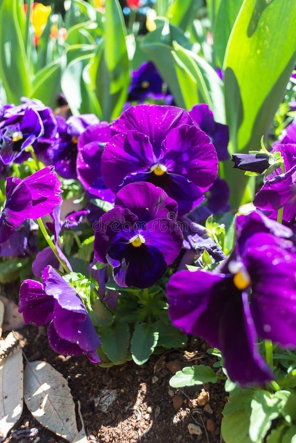 蝴蝶花中提琴紫色花在庭院里 免版税图库摄影