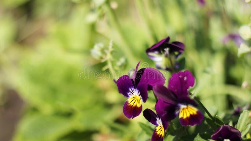 Download 蝴蝶花 库存照片. 图片 包括有 看板卡, 蝴蝶花, 选择, 五颜六色, 工厂, 附注, 紫罗兰色, 要素 - 72366508