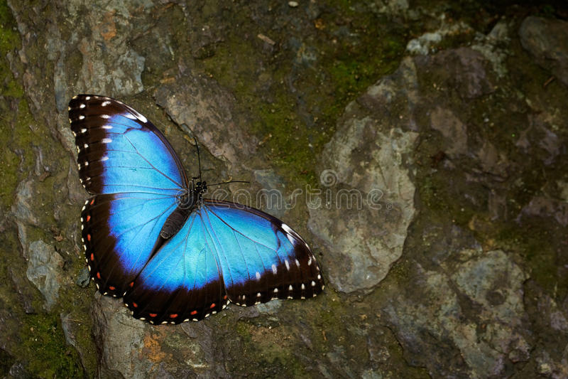 蝴蝶蓝色Morpho, Morpho peleides 大蓝色蝴蝶坐灰色岩石,美丽的昆虫在自然栖所,野生生物 库存照片