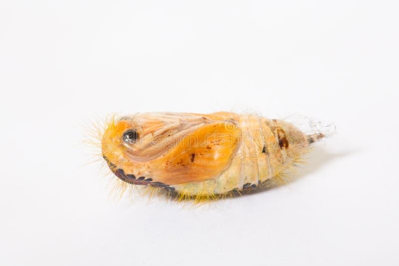 蝶蛹在白色背景中 图库摄影