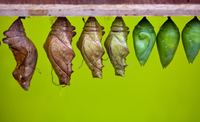 蝶蛹 库存图片