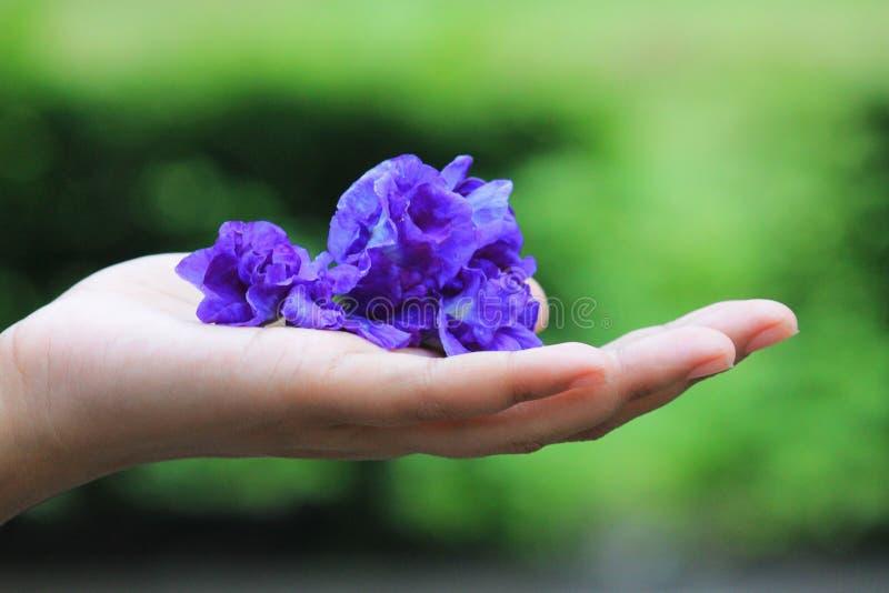 蝴蝶豌豆花在手边在室外 库存图片