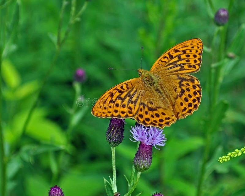 蝴蝶银被洗涤的贝母Argynnis paphia 库存图片