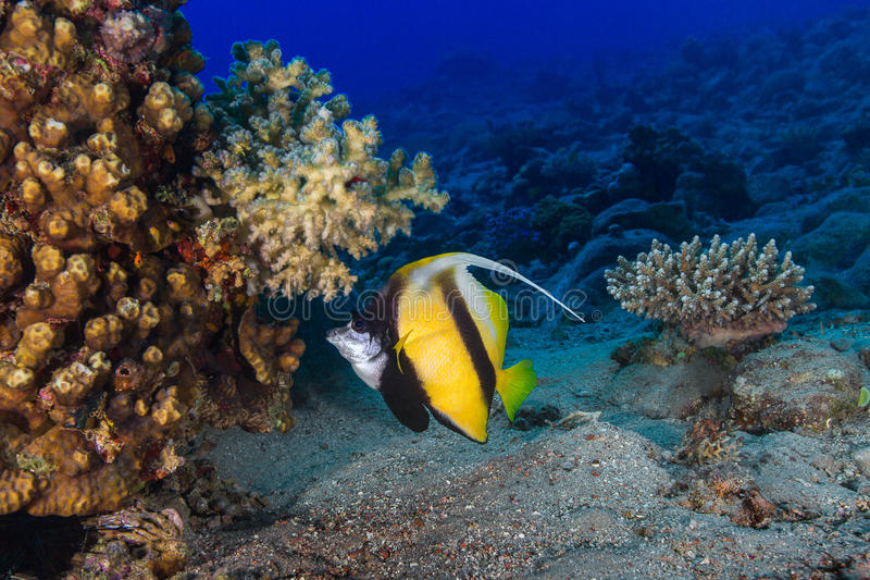 蝴蝶鱼在珊瑚中游泳 水下的照片 图库摄影