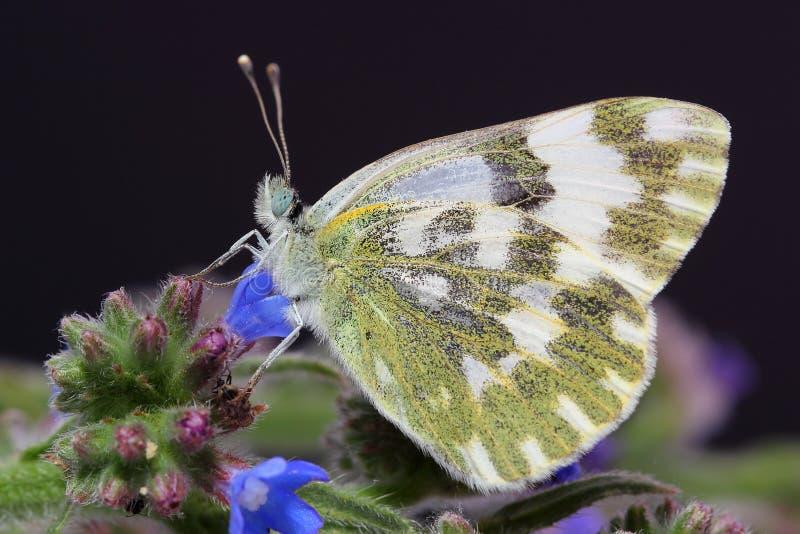蝴蝶-一点巴恩白色(Pontia chloridice) 免版税图库摄影