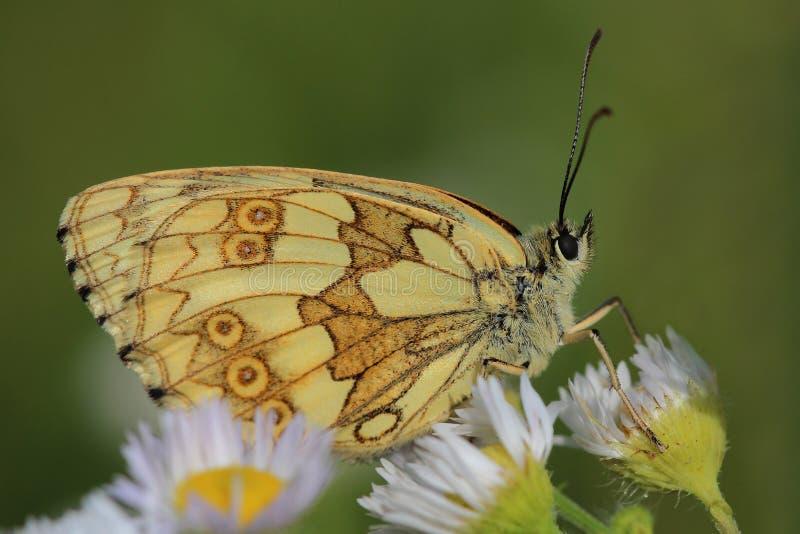 蝴蝶-使有大理石花纹的白色(Melanargia galathea) 库存照片